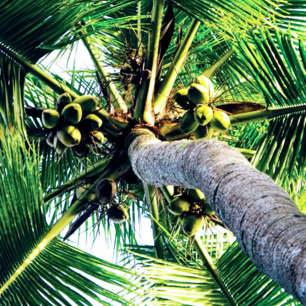 Coconut Palm 3