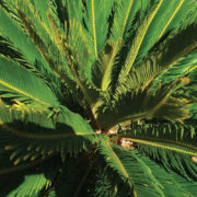 Cycad Palm 1