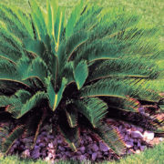 Cycad Palm 3