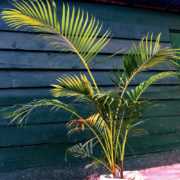 Golden Cane Palm 2
