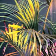 Golden Cane Palm 3
