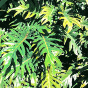 Philodendron 3