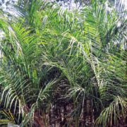 Royal Palm 1