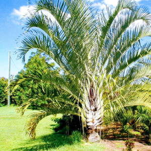 Triangle Palm 1